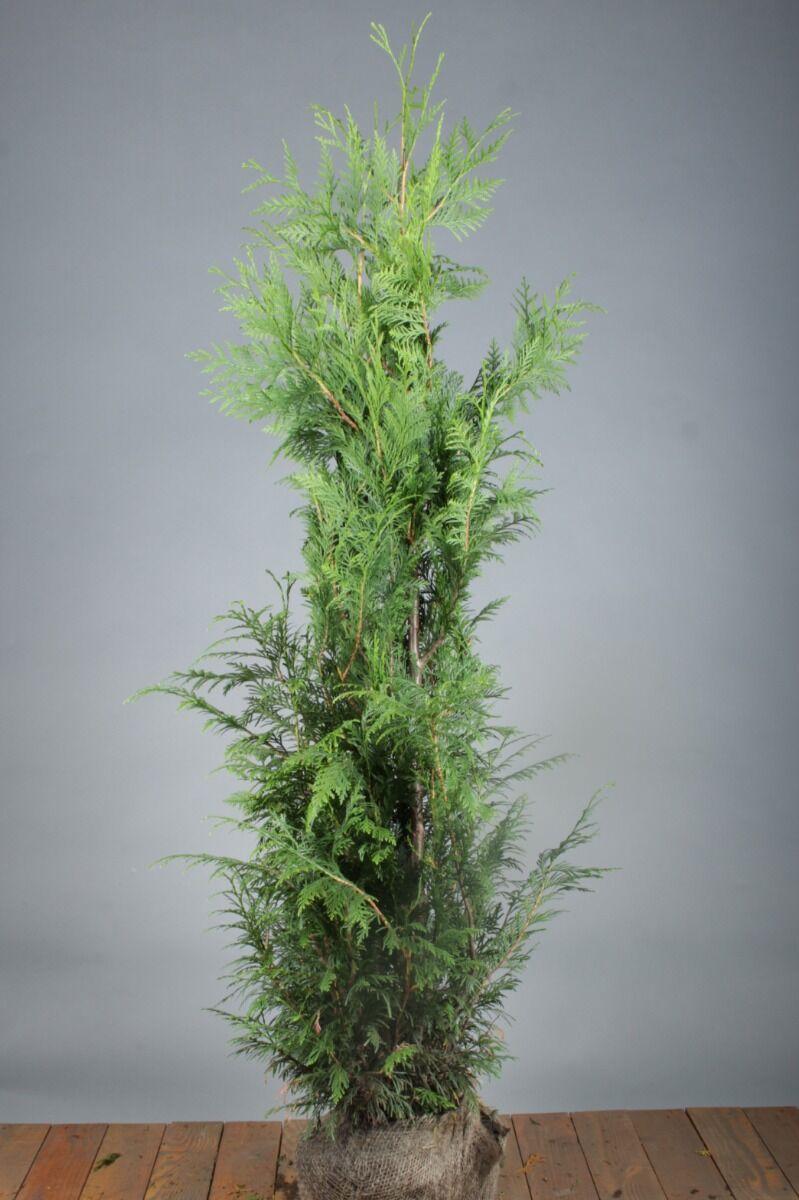 Lebensbaum 'Excelsa' (125-150 cm) Clod