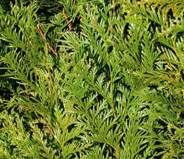 Riesenlebensbaum Atrovirens